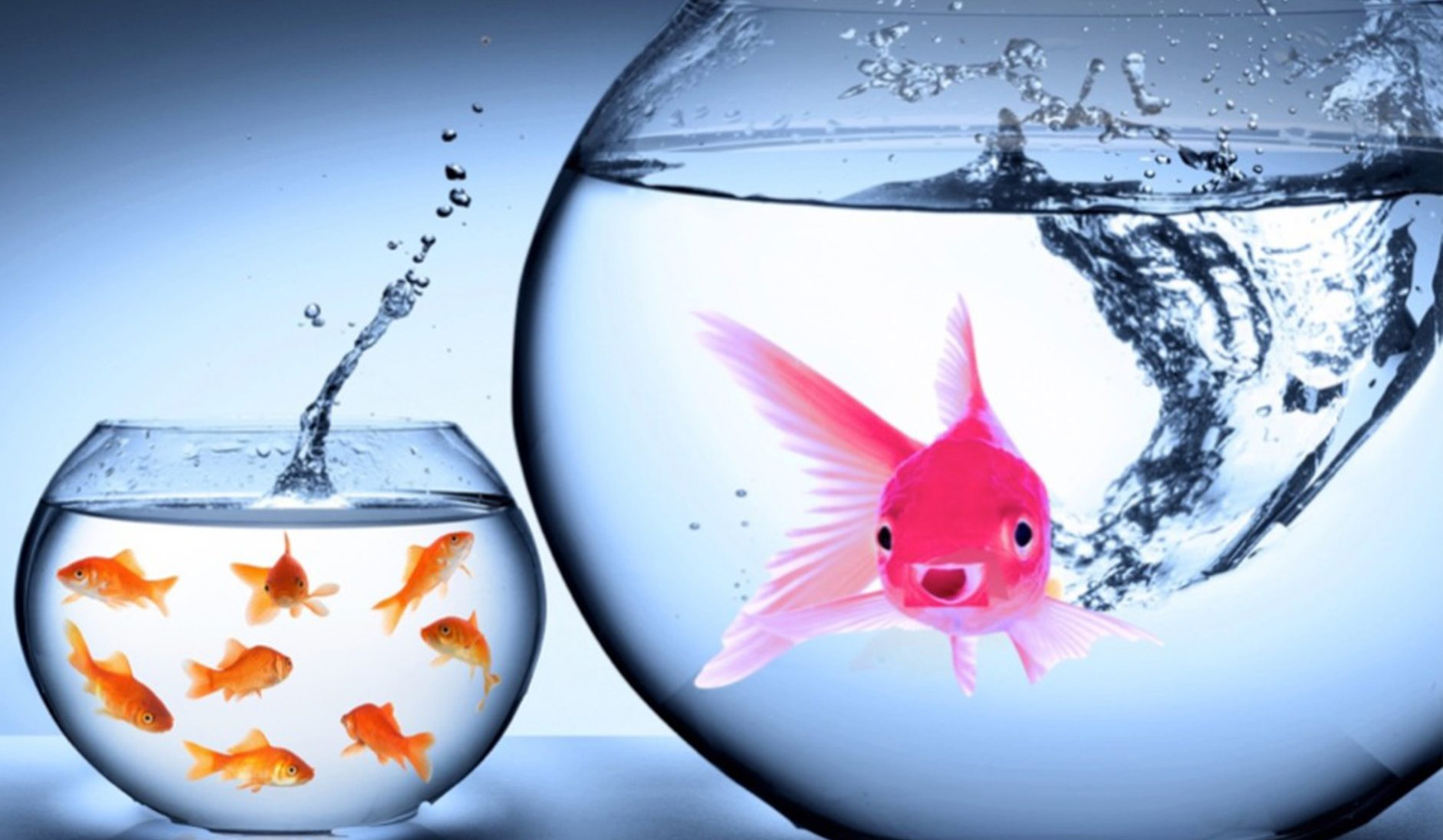 Pink Goldfish Fish Bowls